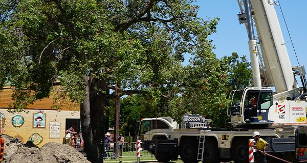 An 80-year old Kurrajong tree was relocated to the Bert Wright Park in order to clear the way for the Bayswater Station upgrade project, Perth.