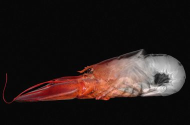 The natural strength of lobsters shells inspired the research team. Lobster x-ray image by Florian Elias Rieser, licensed under a Creative Commons Attribution-Share Alike 4.0 International license